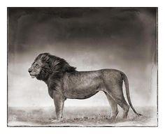 Nick Brandt Creative Wildlife Photography Lion