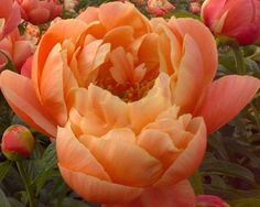 """~Coral Charm - Early Midseason Hybrid, semi-double, deeply pigmented orange-  coral buds open to pleasing coral-peach flowers, fragrant,  fast  grower, many thick strong stems, it belongs on the """"exclusive""""  list of well paid cut flowers, American Peony Society Best in Show - Grand Champion 2003 & 2006 and American Peony Society Gold Medal 1986, (Wissing 1964)."""