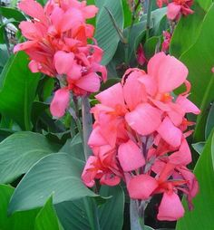 Canna News: Canna 'Crimson Beauty'