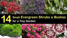 14 Small Evergreen Shrubs - Bushes for a Tiny Garden Dwarf Evergreen Shrubs, Evergreen Bush, Dwarf Shrubs, Evergreen Garden, Boxwood Garden, Garden Shrubs, Flowering Shrubs, Garden Planters, Colorful Shrubs