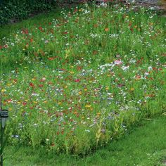 Do you fancy a mini meadow garden? I've seen several beautiful strips of wildflower meadow in show gardens this year. And also in friends' gardens. Ever since the 2012 London Olympics, meadow gardens have been. Balcony Flowers, Balcony Plants, Balcony Garden, Garden Plants, Summer Flowers, Colorful Flowers, Wild Flowers, Ficus, Meadow Garden