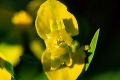 Die Blüte der einer Wolfsmilch, Feldweg, Feldrain, aufgenommen im April, Pflanzen