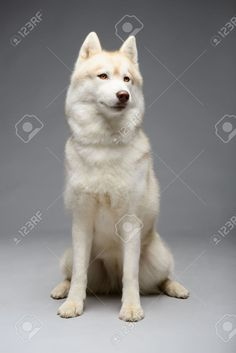 Portrait Of Siberian Husky On Gray Background Stock Photo, Picture And Royalty Free Image. Image 48932874.
