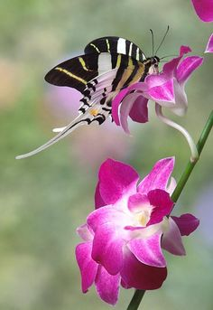 """Swordtail butterfly on orchid//  When we have God's PEACE, are fruit-bearing, truth-seeking, forgiving and sensitive to other's needs we can attract and keep the Dove from taking off like a butterfly;  He is very gentle and sensitive, thriving when we are loving and self-controlled.  As R.T. Kendall says, """"The Dove will not adjust to me;  I must adjust to Him.  And, I quickly add, it isn't easy."""""""