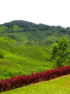 Cameron Highlands Tea Plantations, Malaysia
