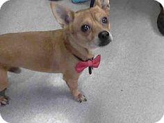 01/01/2017 SUPER URGENT Pasadena, CA Chihuahua Mix, ADOPT KOKO, a small male senior dog for adoption, ID#: 10900497-A409627, Pasadena Humane Society & SPCA, please contact the shelter directly for more details on Phone:(626) 792-7151. http://www.adoptapet.com/pet/17243082-pasadena-california-chihuahua-mix