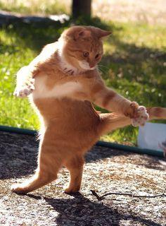 funny dancing fat cat