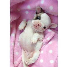 Adorable photo from @star_frenchies - Piglet When She Was A Baby