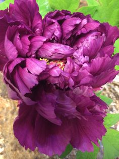 One more picture of my pretty peony!