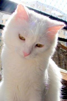 ADOTADO!!! RJ - Kiko, lindo gatinho branco precisa encontrar um lar logo! | Flickr - Photo Sharing!