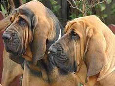 Twee Bloedhond Honden Bureaublad Achtergrond