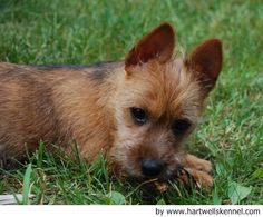 Australian Terrier | Australian terrier