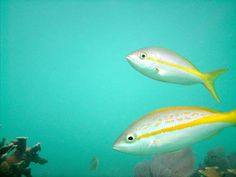 took this photo of these little fish down at marathon in the Florida keys. sombrero reef north end. absolute beauty. taken with sea life dc1400