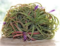Tillandsia Ionantha Blooming Cluster te koop bij Tillandsia Fantasy