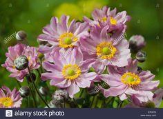 Japanese Anemone X Hybrida Fantasy Pocahontas Summer Flower ...