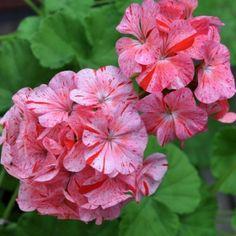 PELARGON F1 'Divas Raspberry Ripple' i gruppen Ettåriga blomsterväxter hos Impecta Fröhandel (13521)