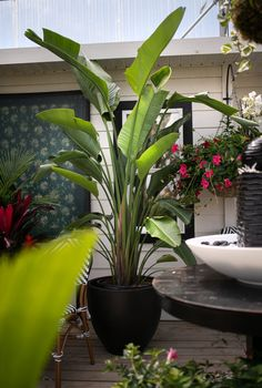 West Coast Gardens - Garden Centre in Surrey BC - shop in-store or online! www.westcoastgardens.ca  Beautiful tropical plants for indoors and on the patio this summer. Giant tropical plants, indoor plants, house plants and more. #houseplants #tropicalplants #indoorplants