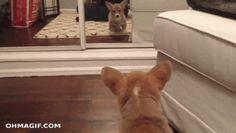 When this corgi found an enemy in the mirror:   24 Times Corgis Failed So Hard But Were So Cute It Didn't Matter