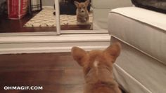When this corgi found an enemy in the mirror: