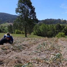 When planting our garlic crop we use a lot of mulch. Here we are last year checking to see if the garlic is getting close to harvest. #barringtonriverorganicfarm #garlic #certifiedorganic #farmlife