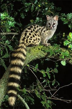 ] Genets are mammals which kinda look like cats -- but aren't! They're related to civets, linsangs, fossa, and mongooses.