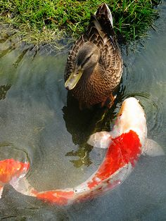 koi fish and duck
