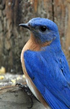 Bluebird - I am so blue today!  For my Dad who made over 400 blue bird houses for his mountain birds!!  Thanks Dad for sharing your love of nature!!