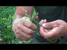 Jak wykonać okulizację róży - YouTube Gardening, Youtube, Lawn And Garden, Youtubers, Youtube Movies, Horticulture