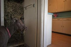 Cyrus Fakroddin's pet goat Cocoa eats hay from a cabinet at their home in Summit, New Jersey, April 7, 2012.   REUTERS/Allison Joyce