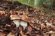 funghi porcini - Cerca con Google