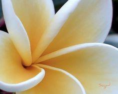 pua melia ~ used often by hula dancers. irony: i'm allergic to them!