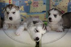#husky #puppies http://www.siberian-husky-dog-breed-store.com/