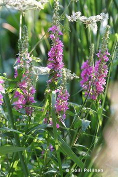Rantakukka eli pohjanrantakukka (Lythrum salicaria) Photo Soili Pellinen