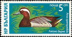 Garganey (Anas querquedula)