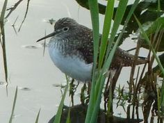 Solitary Sandpiper - seen in flooded farm field near Northfield on May 5