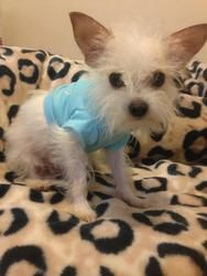 Nico is an adoptable Maltese Dog in la Mesa, CA. Nico is a tiny 5.7 pounds Maltese/yorkie mix cute as a button 11 months only. Please fill out an application for this angel. :) Adoption fee $240.00...