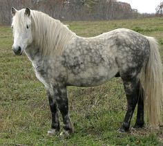 """Newfoundland Pony - probably similar to a medieval """"packhorse"""" style breed"""