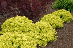 Golden Nugget Dwarf Japanese Barberry shrub. The yellow is just stunning! These shrubs stay small and are slow growing, only getting to about 12 inches tall and 18 inches wide! They have a great natural mounding habit and make great groundcover plants. They have thorns, and are deciduous (loose their leaves in the winter), and like full to partial sun.