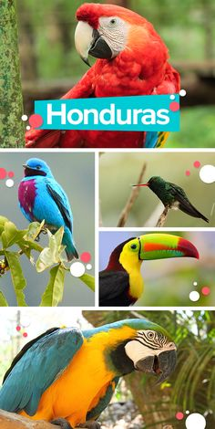 Honduras is the perfect place for you to watch the most exotic birds in the world! Belize, Honduras Travel, Honduras Roatan, Panama, Traveling Teacher, Colorful Parrots, Crafts For Teens To Make, Utila, Exotic Birds