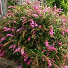 Arbre aux papillons Pink Delight - Buddleia Pink Delight - MonEden