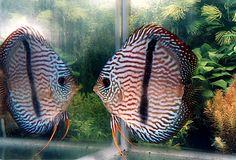 Symphysodon discus: Heckel discus