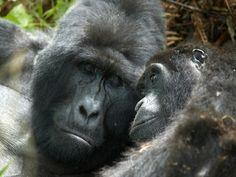 Safari :  animaux dans la forêt de Bwindi, Ouganda