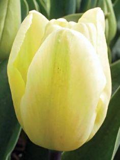 Тюльпаны Триумф Creme Flag Сільський вісник