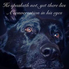 In The Eyes German Shepherd Dogs Shepherd Dog Black Labrador