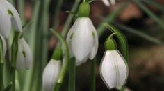 "plant-a-day:  Snowdrops Galanthus nivalis Common Snowdrops are the first harbinger of spring in many parts of the temperate Northern hemisphere. In Danish, they are called ""Wintergækker,"" which means ""winter-teaser."" Galanthus nivalis is native to, and naturalised in large swathes of Europe, and thought to have been dispersed by the Romans during conquest. Other members of the Galanthus family are endangered in the wild, and collection is prohibited. Snowdrop Gardens are popular tourist…"