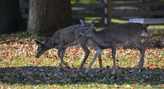 Two doe, hanging out on the grounds.