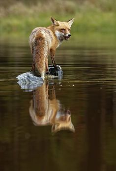 Red Fox by Zdeněk Macháček on 500px