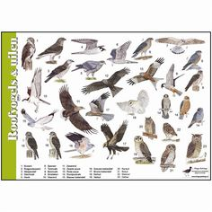 Roofvogels en uilen - tringa-paintings
