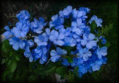 https://flic.kr/p/eZWEW | Plumbago is doing just fine | Scientific name: Plumbago auriculata Pronunciation: plum-BAY-go ah-rick-yoo-LAY-tuh Common name(s): Plumbago, Cape Plumbago, Sky Flower, Cape leadwort Family: Plumbaginaceae Plant type: shrub Origin: South-Africa