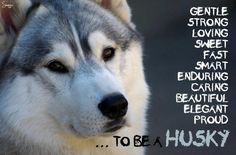 Huskies ARE so loving! See r rescue: https://www.facebook.com/HuskyMomAtSiberianHuskyRescueOfFlorida